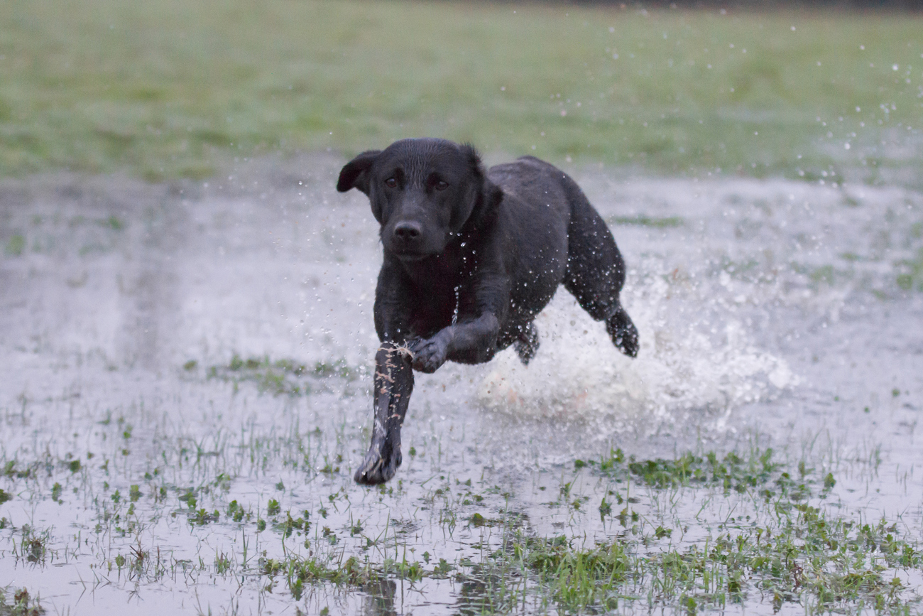 A dog with a docked tail running through a water logged field creating a splash
