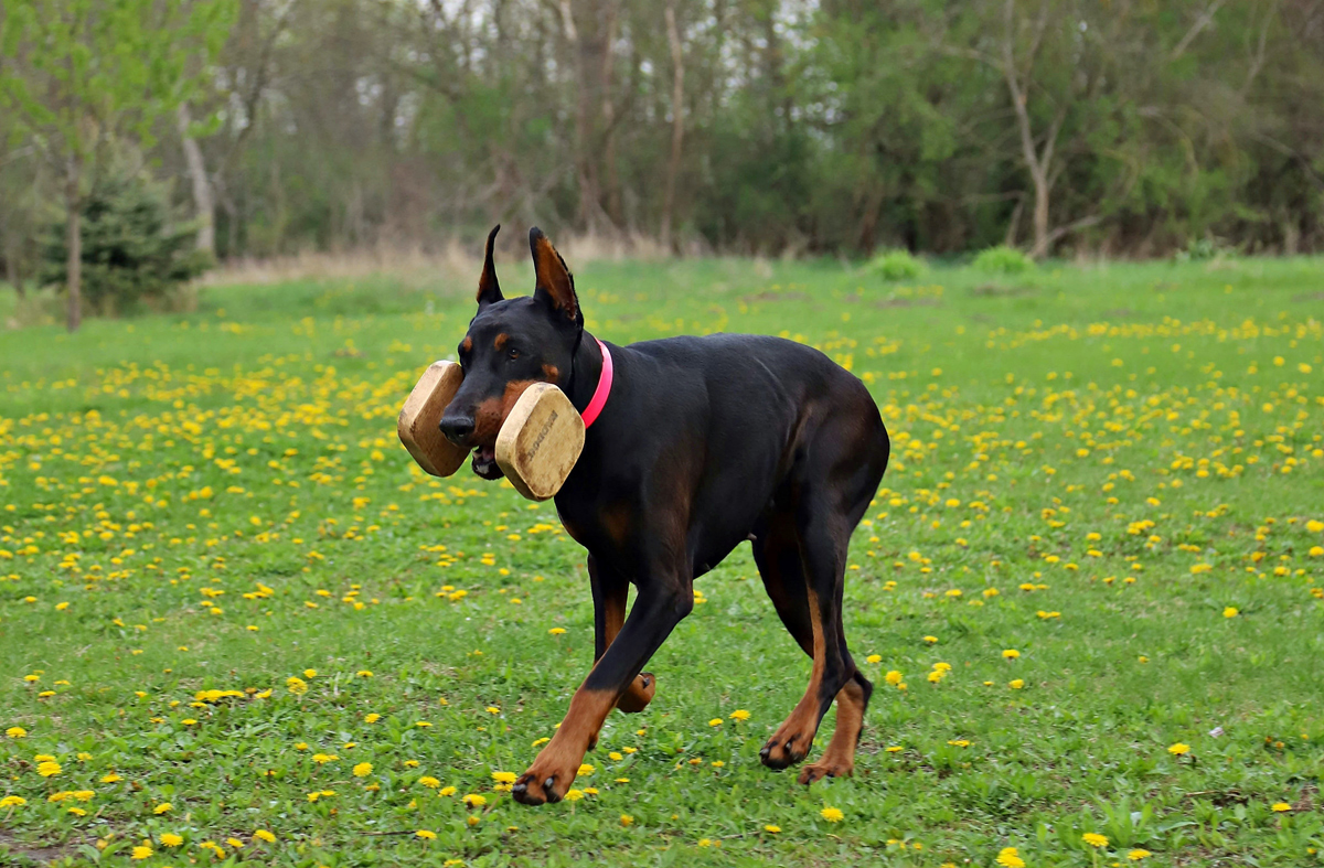 dog with a docked tail running through a flowery field carrying a training toy
