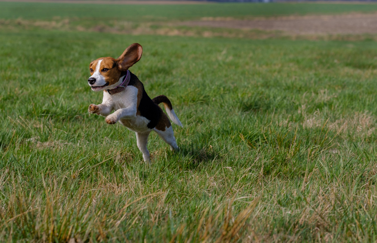 A Beagle leaping through a field with its ears flapping