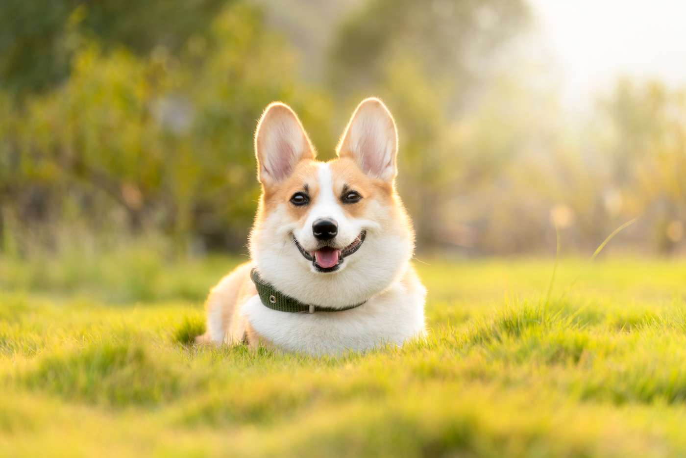 A Corgi laying down on grass with the sun set behind it