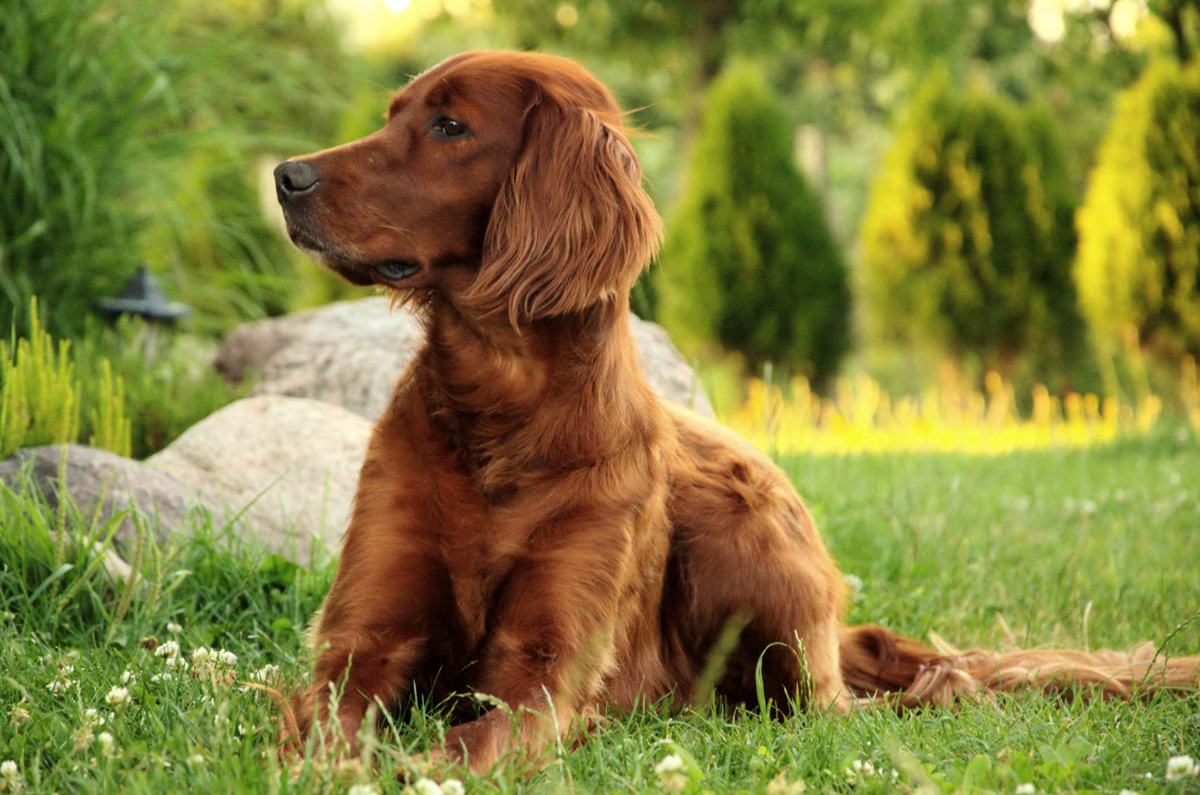 An Irish Setter sitting in a grassy garden on a sunny day
