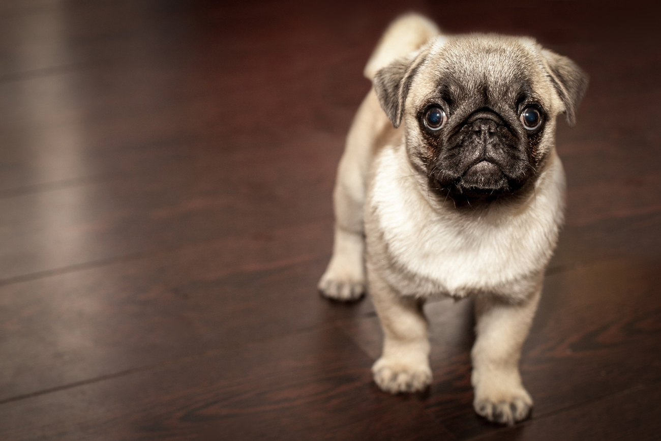 A puppy pug standing on a wooden flooring