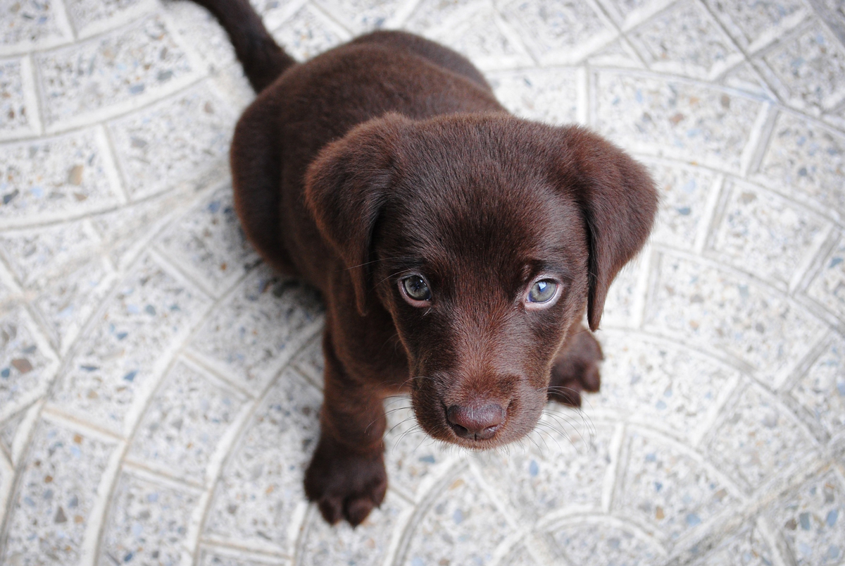A small brown Labrador sitting on some floor tiles looking up