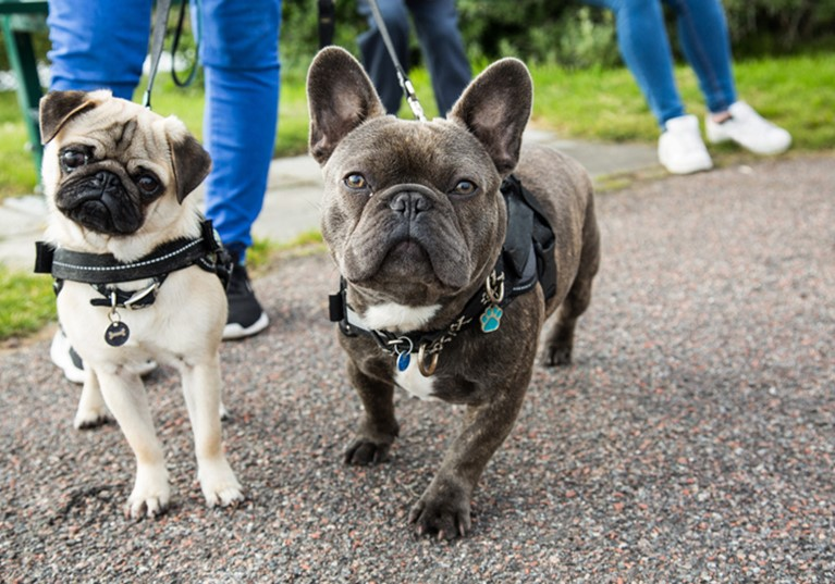 French bulldog and pug