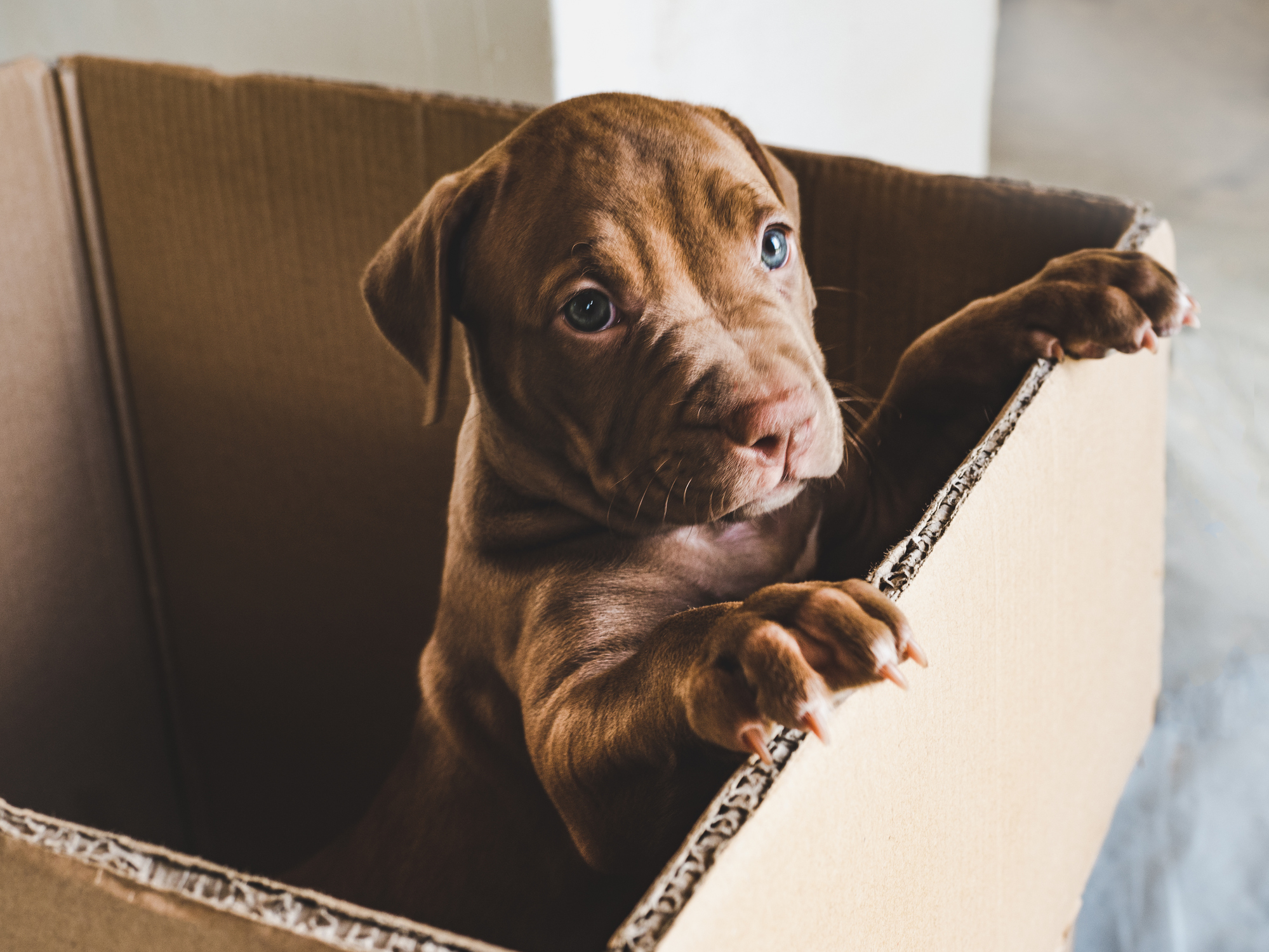 A puppy standing up on the side of a cardboard box