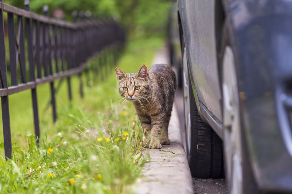 A cat walking along a curb next to parked cars and a field