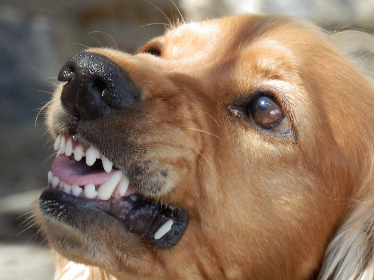 A snarling dog showing its teeth