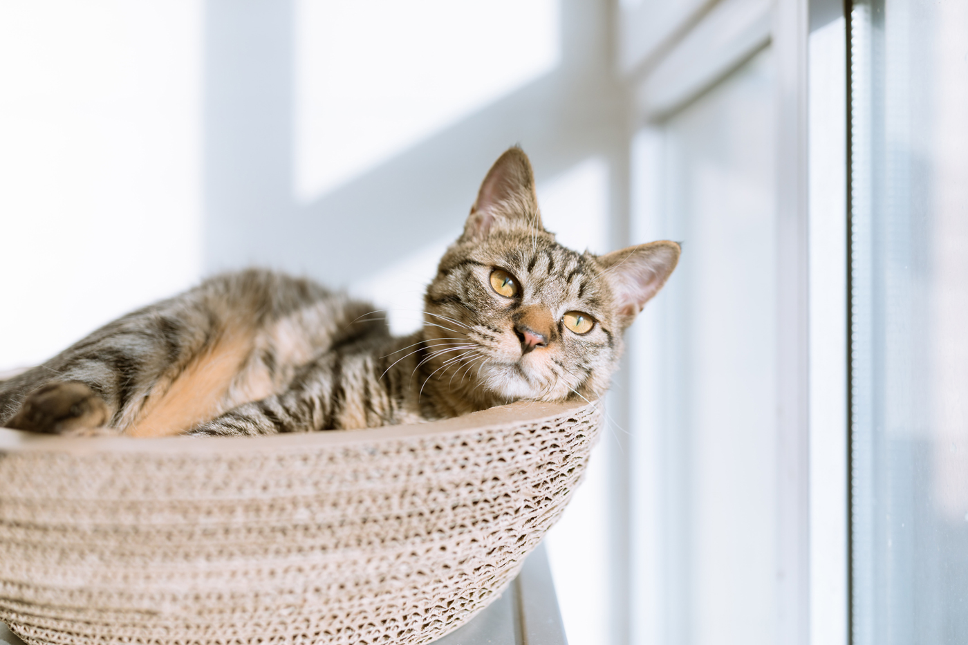 A cat laying in a round cat bed looking out of a window