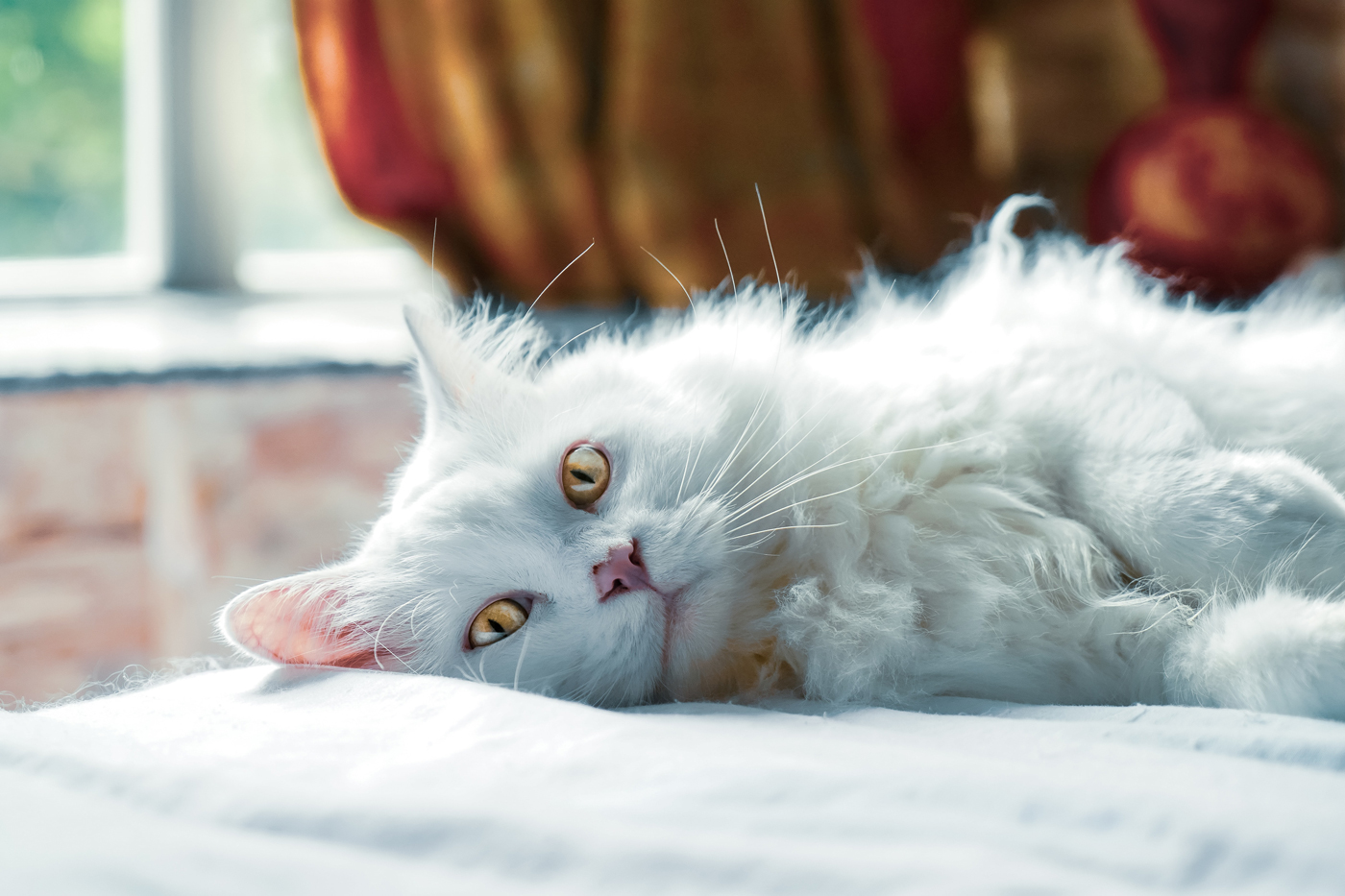 A fluffy white cat relaxing on a bed